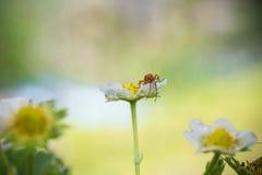 Die schöne nette rote orange Insektenwanze mit enormen Antennen gelbe Erdbeerblume erforschend und saugend sprießen Lizenzfreies Stockbild