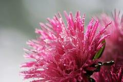 Die schöne, rosa Blume, die mit Wasser bedeckt wird, fällt Stockfotografie