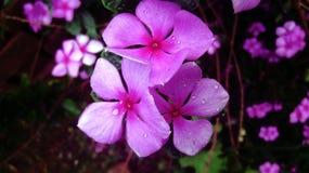 Die schöne rosa Blume, die mit Wasser glänzt, fällt auf sie Stockfoto