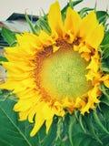 Die schöne Sonnenblume lizenzfreies stockbild