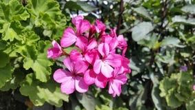 Die schönen Blumen in Zypern Stockfoto