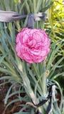 Die schönen Blumen in Zypern Stockbilder
