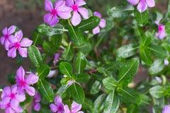 Die schönen frischen rosa Blumen Stockfotografie