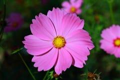 Die schönen rosa Blumen Lizenzfreies Stockfoto