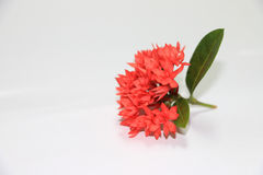 Die schönen Spitzenrotblumen Lizenzfreie Stockfotos