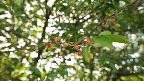 Die schönen unausgereiften Kirschen, die an einem Kirschbaum hängen, verzweigen sich Selecrive-Fokus stock footage