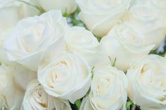 Die schönen weißen Rosen stockfoto