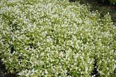 Die schönen Wiesen der weißen Blume stockfoto