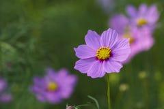 Die Schönheit der purpurroten Blume stockbilder