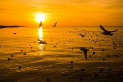 Die Schönheit der Seemöwe auf dem Meer bei Sonnenuntergang, bei Sonnenaufgang Stockbilder