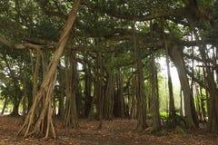 Die Schönheit des Bantambaums lizenzfreies stockfoto