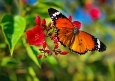 Die Schönheit des Schmetterlingseffektes lizenzfreies stockbild
