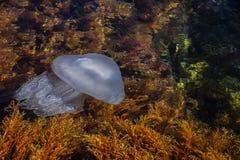 Die Schönheit des Schwarzen Meers Meeresflora und -fauna medusa Sea Wasser Seeschildkröte nahe Gili Meno medusa stockbild