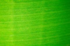 Die Schönheit eines Bananenblattes Stockfotos