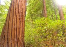 Die Schönheit eines Küstenrotholz-Waldes Lizenzfreies Stockfoto