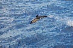 Die Schönheit von den Salzwasserdelphinen, die im Atlantik spielen Lizenzfreie Stockbilder
