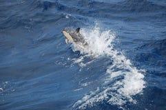 Die Schönheit von den Salzwasserdelphinen, die im Atlantik spielen Lizenzfreie Stockfotos