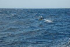 Die Schönheit von den Salzwasserdelphinen, die im Atlantik spielen Stockfotos