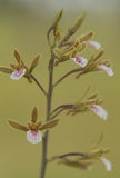 Die Schönheit von Orchideen stockbild