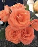 Die Schönheit von Rosen Stockfoto