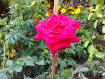 Die schönste ROSE Stockbilder