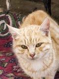 Die schönsten Katzenaugen, nah die Augen der Katzen-, verschiedenen und ursprünglichenkatzenbilder Lizenzfreies Stockfoto