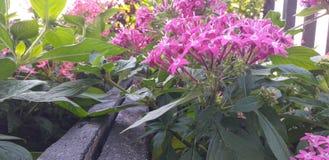 Die sch?ne purpurrote Blume im Garten stockbilder