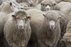 Die Schaf-Bauernhof-Serie Stockbilder