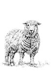Die Schafe Lizenzfreies Stockbild