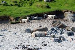 Die Schafe lizenzfreie stockfotos