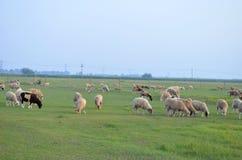 Die Schafe Stockbilder