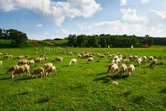 Die Schafe auf der Wiese Stockfotografie