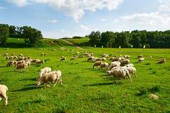 Die Schafe auf der Wiese Lizenzfreie Stockfotos