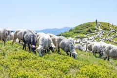 Die Schafe, die auf den Steigungen der ukrainischen Karpaten weiden lassen, überwachten Schäfer Stockfotografie
