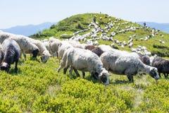 Die Schafe, die auf den Steigungen der ukrainischen Karpaten weiden lassen, überwachten Schäfer Lizenzfreies Stockfoto