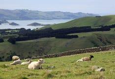 Die Schafe, die auf der Straße zu Larnach weiden lassen, ziehen sich in neuem Eifer Dunedins zurück Stockfoto