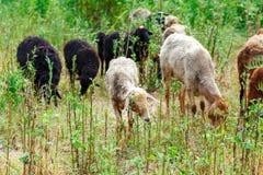 Die Schafe, die auf einem Gebiet weiden lassen und essen Gras Stockbild