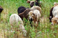 Die Schafe, die auf einem Gebiet weiden lassen und essen Gras Lizenzfreies Stockbild