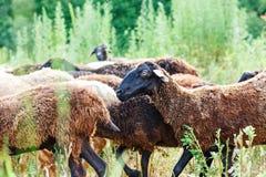 Die Schafe, die auf einem Gebiet weiden lassen und essen Gras Stockbilder