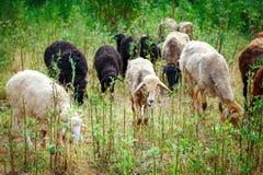Die Schafe, die auf einem Gebiet weiden lassen und essen Gras Lizenzfreies Stockfoto