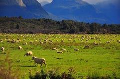 Die Schafe, Neuseeland Lizenzfreies Stockbild