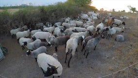 Die Schafe sind im Stift stock video footage