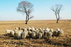 Die Schafe unter dem Baum Stockfoto