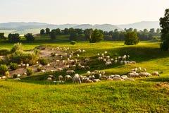 Die Schafherde auf der Steppe Stockbild