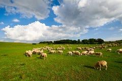 Die Schafherde auf der Wiese Lizenzfreies Stockbild