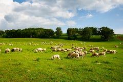 Die Schafherde auf der Wiese Stockfotografie