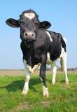 Die schauende Kuh Lizenzfreie Stockfotos