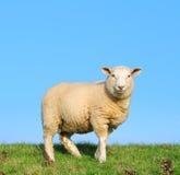 Die schauenden Schafe Stockfotos