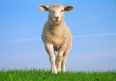 Die schauenden Schafe Stockfoto