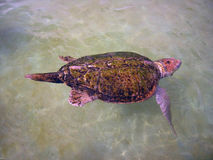 Die Schildkröte Stockfotografie
